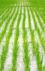 Rice-paddy N.Palmer CIAT-150