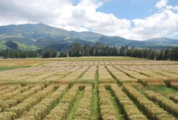 cimmyt international wheat nurseries n russell cimmyt-web