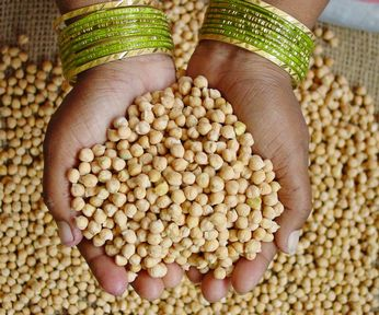 Chickpeas-India ICRISAT w