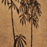 Cassava-leaf-shadow N.Palmer-CIAT-square-web