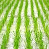 rice-paddy n.palmer ciat-square