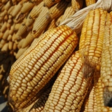 Maize E.Phipps CIMMYT-square-160